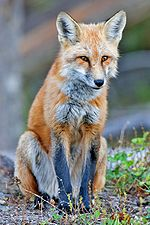 Red Fox Food They Eat