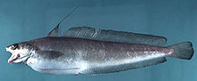 Red hake (Urophycis chuss).jpg