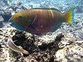 Red sea-reef 3831.jpg