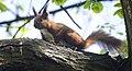 Red squirrel (explored) - Flickr - hedera.baltica.jpg