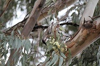 Eucalyptus microcarpa - Red wattlebird (Anthochaera carunculata) feeding from grey box flowers