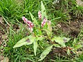 Redshank (Persicaria maculosa) - geograph.org.uk - 1144064.jpg