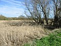 Reeds on Westbere Marshes - geograph.org.uk - 371256.jpg