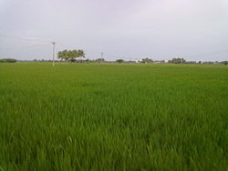 Paddy fields, Regunathapuram