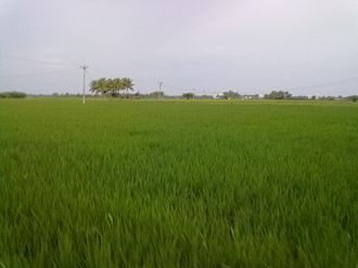 Pudukkottai - A Paddy field in Regunathapuram Village of Pudukkottai district