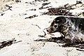 Relâcher phoques Océanopolis 174.jpg