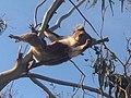 Relaxed koala.jpg