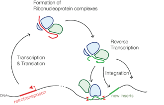 Retrotransposon - Simplified representation of the life cycle of a retrotransposon