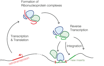 Simplified representation of the life cycle of a retrotransposon