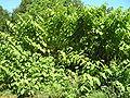 Reynoutria sachalinensis 1 beentree.jpg