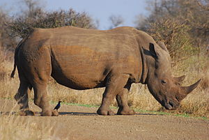 English: a rhino in South Africa