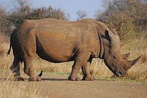 English: a rhino in South Africa