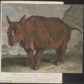 Rhinoceros unicornis - 1700-1880 - Print - Iconographia Zoologica - Special Collections University of Amsterdam - UBA01 IZ22000249.tif