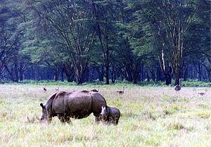 Lake Nakuru - Rhinos