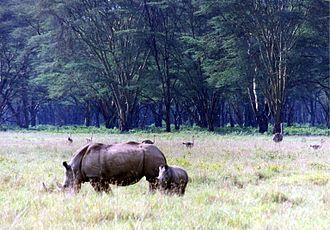 Lake Nakuru - White Rhinos