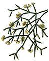 Rhipsalis pilocarpa BlKakteenT99.jpg