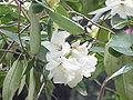 Rhododendron yunnanense0.jpg