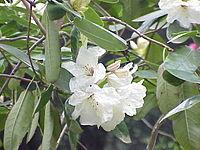 Rhododendron yunnanense0