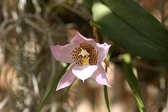 Benito Juárez National Park - Image: Rhynchostele cervantesii ssp. membranacea