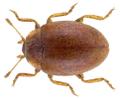 Rhyzobius litura (Fabricius, 1787).png