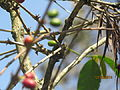 Ripe coffee berries.JPG