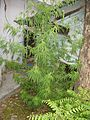 Rishikesh - Cannabis sativa var. Indica (2267554628).jpg