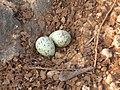 River tern-Nest 02 - Koyna 042011.JPG