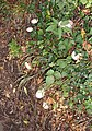 Roadside mushrooms - geograph.org.uk - 80395.jpg