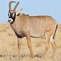 Roan (Hippotragus equinus) male (33105178055).jpg