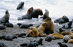 A group of sea lions including male, female and young animals on a sandy beach.