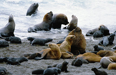Southern sea lions in the shore