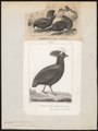 Rollulus roulroul - 1700-1880 - Print - Iconographia Zoologica - Special Collections University of Amsterdam - UBA01 IZ17100271.tif