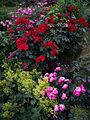 Rosa-'Leonardo-da-Vinci'-+-Rosa-'Robusta'.jpg