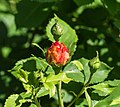 Rosa 'Sonnenwelt' (d.j.b).jpg