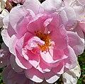 Rosa Lillian Gibson 2.jpg