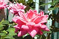 Rosa Pink Double Knock Out 2zz.jpg