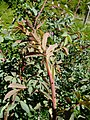 Rosa glauca stem (05).jpg