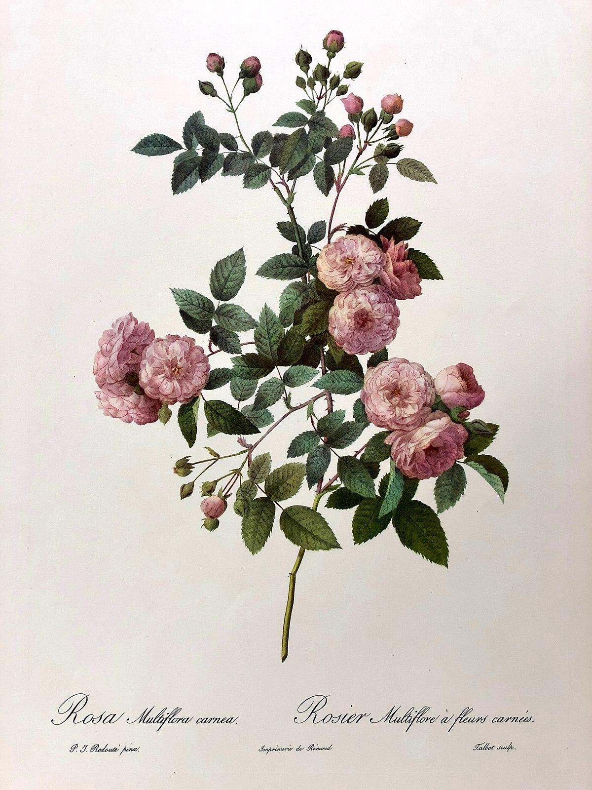types de roses