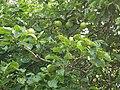 Rosales - Sir Isaac Newton's Apple - 3.jpg