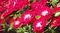 Rose, Dwarfking, バラ, ドワーフキング, (15434290039).jpg