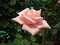 Rose from Lalbagh flower show Aug 2013 8570.JPG