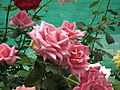 Rose from Lalbagh flower show Aug 2013 8575.JPG