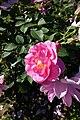 Rose garden @ Parc de Bagatelle @ Paris (28303844031).jpg