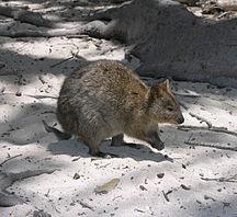 Rottnest Island-Other animals-Rottnest Quokka 2004 SeanMcClean