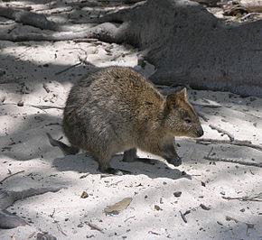 LE QUOKKA animal peu connu  290px-Rottnest_Quokka_2004_SeanMcClean