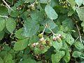 Rubus fruticosus 1.jpg