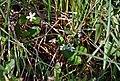 Rubus hispitus c (15725289614).jpg