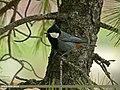 Rufous-naped Tit (Periparus rufonuchalis) (19441904000).jpg