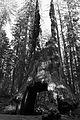 Séquoia géant Wawona Tree (9222606192).jpg