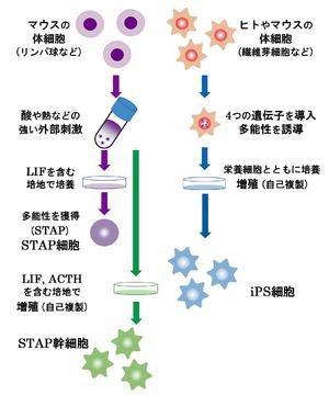 細胞 と は スタップ